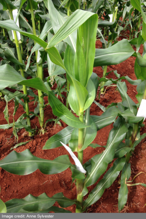 Photo of a corn plant in a field. Image credit: Anne Sylvester
