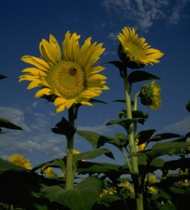 yellow sunflowers pointing to a blue sky