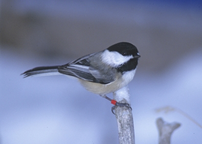 Black-capped Chickadee (Chris Templeton) c (002)